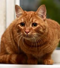 beautiful big red cat