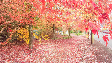 Colorful roadside/pedestrian walkway in Seattle, Washington, USA during fall season with vibrant red and yellow/golden maple trees and thick leaves blanket on ground. Cars on street.