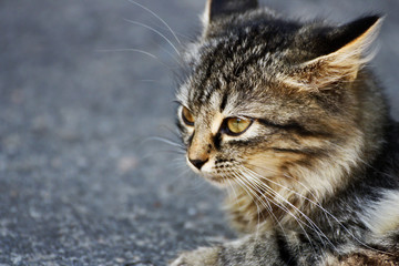 Muzzle gray cat.