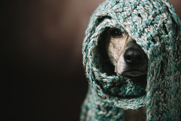 a funny dog in a scarf on his head. She hid from the cold and can only see the nose and one eye. Studio photography.