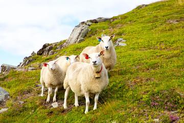 Flock of Lofoten sheep on hills of mountains, Norway