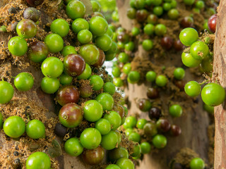 Jaboticaba brazilian tree with a lot of green fruits on trunk