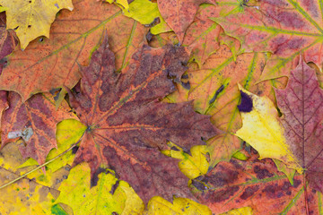 multicolored fall leaves background texture