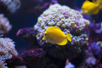 The marine life of the Indian Ocean. Colorful aquarium, showing colorful fish swimming