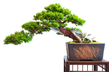 Papiers peints Bonsai Alte markante Eibe (Taxus baccata) als Bonsai Baum Halbkaskade
