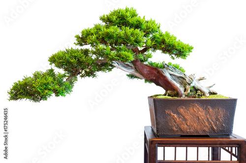alte markante eibe taxus baccata als bonsai baum halbkaskade stockfotos und lizenzfreie. Black Bedroom Furniture Sets. Home Design Ideas