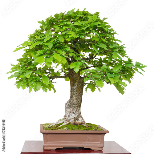 alte eiche quercus robur als bonsai baum stockfotos und lizenzfreie bilder auf. Black Bedroom Furniture Sets. Home Design Ideas