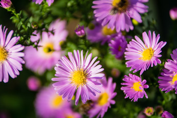 A close-up of European Michaelmas-daisy petals
