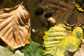 hazel nuts fell into a river, leaves in a river, autumn colorful background