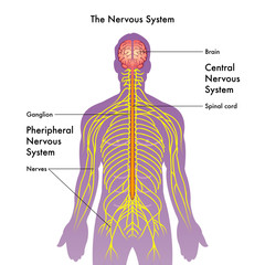 vector medical illustration of the nervous system