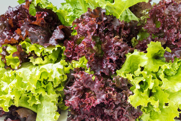 Fresh Lollo Rosso lettuce and Green lettuce