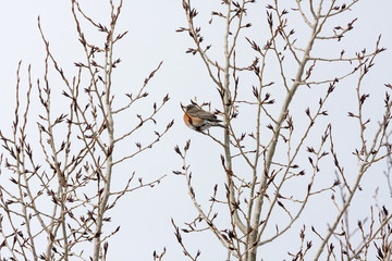 Robin in Tree on Overcast Winter Day