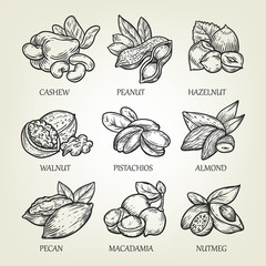 Sketch of different kinds of nuts. Vector illustration with isolated kernels collection.