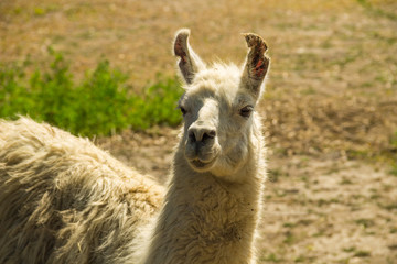 Portrait of a white lama