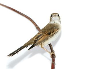 Whitethroat (Sylvia communis).