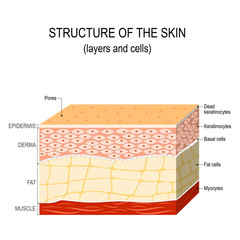 Structure of the human skin