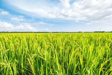 Beautiful Rice Field and Cloudy Blue Sky