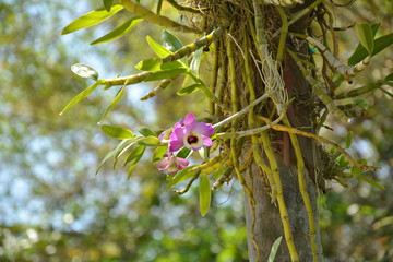 Dendrobium orchid flower growing on the tree