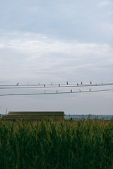 a group of birds sitting on wires