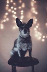 Scruffy dog with Christmas lights