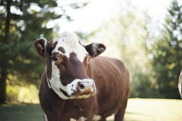 Cute Cows On a Farm