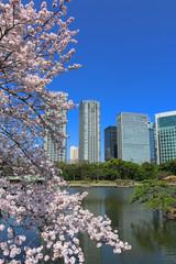 浜離宮庭園の桜