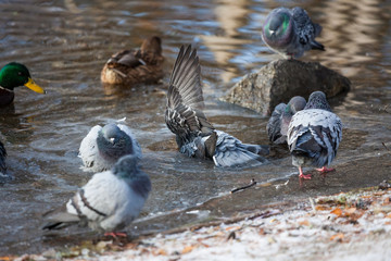 Groupd of pigeons birds bathing