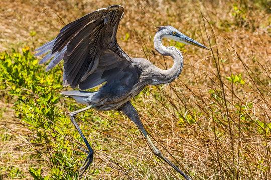Young Great Blue Heron - Panama City Beach, FL