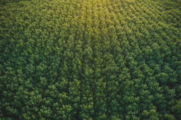 Aerial view of drone fly over of rubber plantation in Thailand