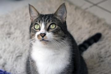 Gato pet sentado olhando tapete