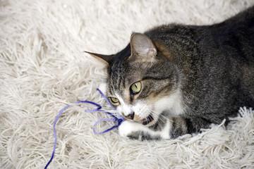 Gato morde lã roxa fofo brincando