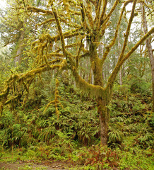 A tree covered/draped in moss in a rainforest of Olympic National Park