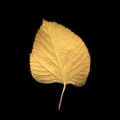 Yellow autumn leaf of a plant on a black background