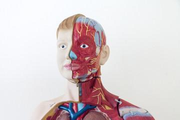 Human Anatomy, muscular system layout