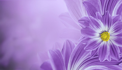 Floral  violet beautiful background.  Flower composition  of   flowers daisy.  Place for text. ...
