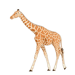 Giraffe adult exotic mammal realistic detailed drawing. African savanna animal with long neck and legs. Camelopardalis with spotted pattern fur coat. Standing walking stretching posture.