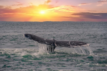 whale tail going down on sunset background