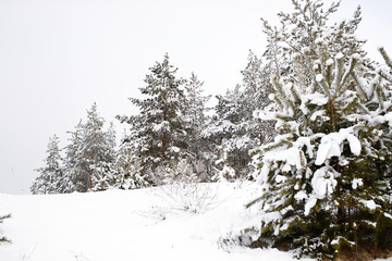Beautiful Winter Snow Forest with Snow Covered Trees. Winter of 2018