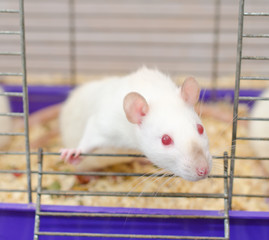 Curious white laboratory rat looking out of a cage (selective focus on the rat eyes and nose)