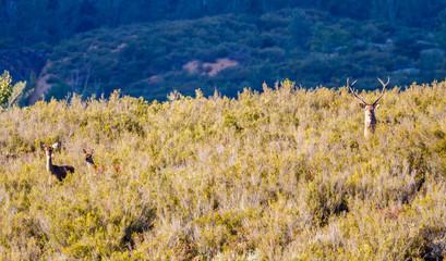 Ciervos durante la berrea. Cervus elaphus. Sierra de la Cabrera, León, España.
