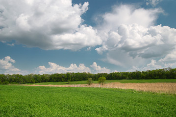 Field with green wheat and blue sky with forest