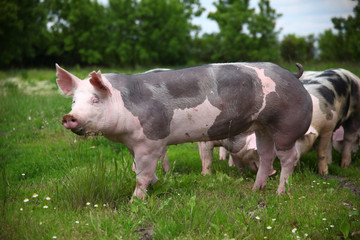 Portrait of a domestic pig on summer pasture
