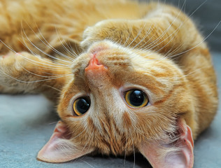 funny redhead young cat lies on a gray background