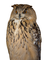 Fototapete - big brown eagle-owl on white