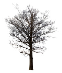bare large straight dence tree isolated on white