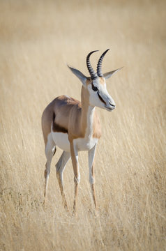 Close-up portrait of beautiful African springbok gazelle in front of dry grass, Etosha National Park, Namibia, Africa