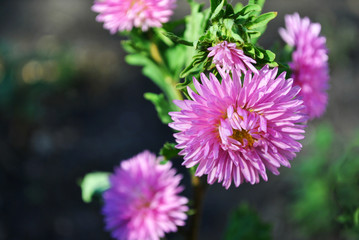 Pink asters (Michaelmas daisy) flower on soft green leaves background