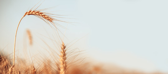 Image of wheat crop on blurred background