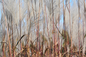 Feather grass, natural background