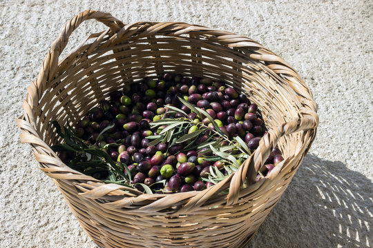 Basket with ripe olives. Harvest.  Concept - Mediterranean cuisine, vegetarianism and longevity.